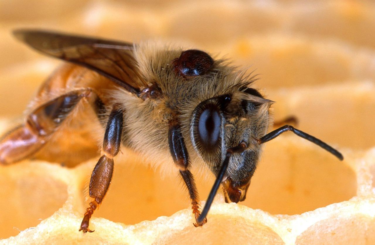 蜜蜂的大腦中,只有大約一百萬個腦細胞,遠少於人類大腦將近1000億個腦細胞,但是這個小小昆蟲腦能做到的事,可能遠超出我們的想像。圖片來源:pixabay.com